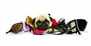 Innocent pug sleeping over a pile of shoes
