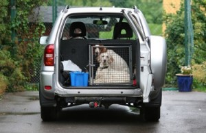 dog siting in a cage in the trunk of SUV